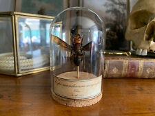 Cabinet de curiosités Oddities Globe guépe Vespa mandarinia magnifica