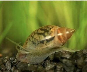20+ Live Tadpole (AKA Bladder or Pond) Snails. Buy 2 get 1 Free. Turtle Food.