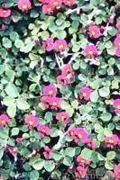 Clover Carpet Seed Fast Groundcover Native Vine No Frost Evergreen Not Invasive