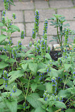 CHIA / SALVIA HISPANICA - 200 SEEDS for sowing