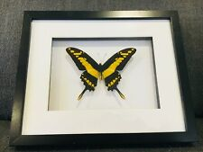 Framed butterfly, Papilio Theos. insect taxidermy