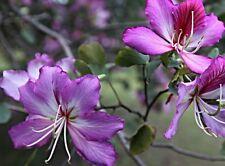 Orchid Tree, Bauhinia Purpurea, Butterfly Tree, Purple Flower x (3 Seeds)