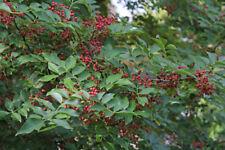 Shrub tree seed - Organic Zanthoxylum Simulans 300 Seeds Szechuan Sichuan Pepper