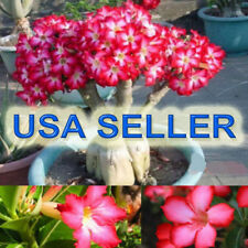 50 PC FRESH Desert Rose Seeds, Rare Adenium Flower, USA Grown & Produced