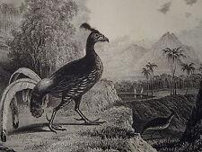 Gravure FAISAN DOS de FEU OISEAU ORNITHOLOGIE BIRD JAVA INDONESIE INDONESIA 1830
