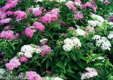 Spiraea japonica Shirobana PLUG PLANT hardy shrub