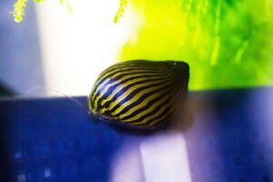 Zebra Nerite Snails, Fresh Water Snail
