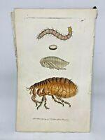 Common Flea - 1783 RARE SHAW & NODDER Hand Colored Copper Engraving