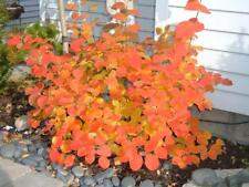 Fothergilla gardenii - Live Plant - Shipped 1 to 2 Feet Tall