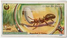 Worker Ants Moving Egg Larvae Magnified 5X 1920s Trade Ad Card