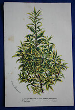 Genuine antique botanical flower print ILEX AQUIFOLIUM van Houtte c.1860