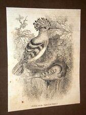 Rarissima incisione del 1836 Bubbola comune, Upupa Erops - Ornitologia