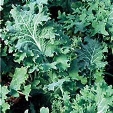 Heirloom Dwarf Siberian Kale Bulk�One Ounce (1 oz) �Huge Leaves�Very Hardy