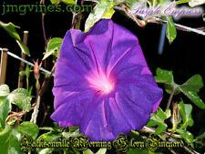 Purple Empress Japanese Morning Glory 6 Seeds