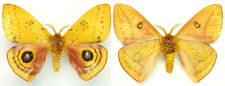 MOUNTED SPREAD BUTTERFLY - Automeris hebe, male, Mexico