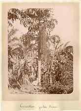 Algérie, jardin d'Essai, cacaotier  vintage albumen print.  Tirage albumi