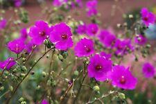 Calandrinia spectabilis - Rock Purslane - Succulent