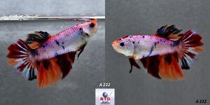Live Betta Fish A232 Female Fancy KOI Nemo Feather Tails HM for Breeding