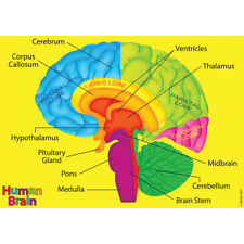 Foam Manipulatives Human Brain Model