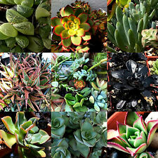 """15 LOT FRESH SUCCULENT CUTTINGS ASSORTED VARIETIES 2""""-4"""" WITH EXTRAS!"""