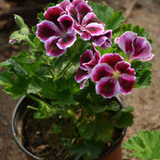 20Pcs Rare Geranium Seeds Pelargonium Hortorum Seed Balcony Garden Flower Bonsai