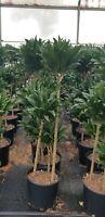 "Dracaena Janet Craig Compacta, 3 ppp staggered 10"" pot Live plant planta Plantes"