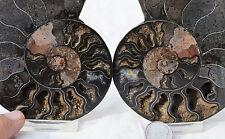 "RARE 1 in 100 BLACK PAIR Ammonite Crystal LARGE 115mm Dinosaur FOSSIL 4.5"" n2498"