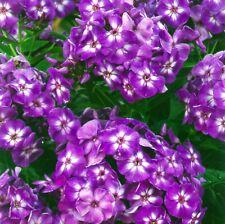 "phlox LAURA fuchsia purple disease-resistant 2.5"" pot ☆1 Live Potted Plant☆"