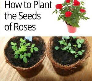 Steps TO Grow Roses from Seed with PHOTOS FULL PDF FILE TO YOUR EMAIL ADDRESS