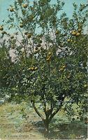 Postcard A Florida Orange Tree