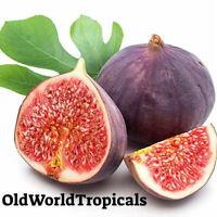 Violette du Bordeaux Hardy Fig Live Plant Figue de Violet
