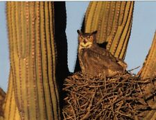 Postcard Great Horned Owl on Nest in Giant Saguaro Cactus Near Tucson AZ