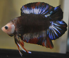 live betta fish- IMPORTED MALE-  BLACK FANCY DOUBLETAIL PLAKAT