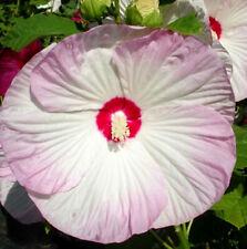 Hibiscus moscheutos Luna Blush | Rose Mallow | 50_Seeds