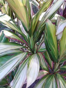 10x Organic Cordyline plant log cuttings KIWI, wax sealed, free instructions