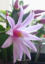 Osterkaktus Hatiora rosea x gaertneri (Ableger) RIESIGE Blüten