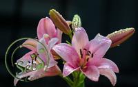 50 Pcs Rare Pink Lily Bulbs Flower Seeds Plant Lilium Perfume Home Garden Decor
