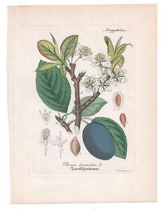 Antique Botanical Print Prunus Domestica Artus-Kirchner-1876