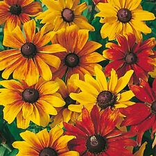Rudbeckia Rustic Dwarf Mix Seed Black-Eyed Susan Annual Summer/Autumn Flowering