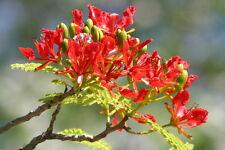 """5 SEMI DELONIX REGIA """"Flamboyant albero del fuoco"""""""