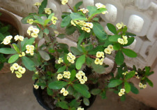 YELLOW EUPHORBIA milii Crown of Thorns Succulent Shrub 15cm plant
