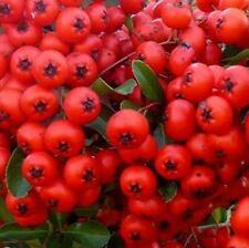 1X 3-4FT LARGE PYRACANTHA RED COLUMN PLANT - EVERGREEN SHRUB - 3L