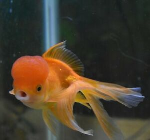 "Live Fancy Oranda Goldfish (4"" Aquarium or Pond Fish)  *PLS READ DESCR*"