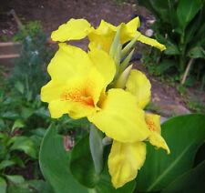 New listing 3 rhizomes Richard Wallace Canna Lily Yellow Plant Perennial Tropical Foliage