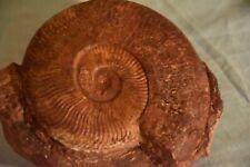 grande 2 ammonites Pseudogrammoceras fallaciosum toarcien 120 mm et 40 mm