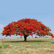 """10 SEMI DELONIX REGIA """"Flamboyant albero del fuoco"""""""