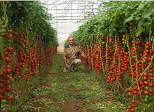 Tomato Giant Italian Tree  25 - 30 Ft. (8 - 9 M) . Rare THIS IS THE TALLEST ONE