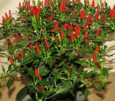 CHILLI BIRD'S EYE (20 SEEDS)