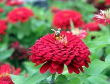 "Dahlia-flowered zinnia ""Scarlet Flame"" - 120 seeds"
