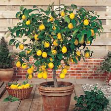 🍋DWARF BONSAI LEMON TREE SEEDS🍋EDIBLE FRUITING TREE🍋FAST P&P🍋UK SELLER🍋